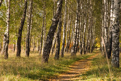Footpath in birch valley. Golden footpath in birch valley Royalty Free Stock Images