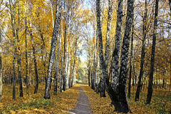 Footpath between the birches and maples in autumn Stock Photos