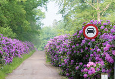 Footpath through blooming rhododendron flowers Royalty Free Stock Photo