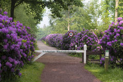 Footpath through blooming rhododendron flowers Royalty Free Stock Image