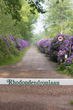 Footpath through blooming rhododendron flowers Royalty Free Stock Photos