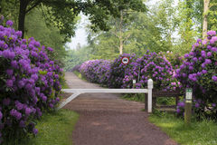 Footpath through blooming rhododendron flowers Stock Photo