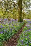 Footpath through bluebell woodland Royalty Free Stock Images