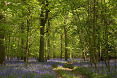 Footpath in a bluebells wood Royalty Free Stock Photos