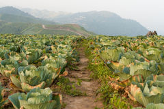 Footpath in cabbage field Royalty Free Stock Photos