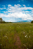 Footpath in camomile field Stock Photos