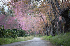 Footpath with cherry blossom flower Stock Photo