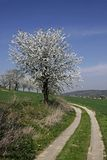 Footpath with cherry trees, Germany Royalty Free Stock Photography
