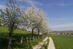 Footpath with cherry trees in Germany Royalty Free Stock Images