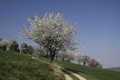 Footpath with cherry trees in Germany Stock Photography
