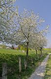 Footpath with cherry trees in Germany Stock Images