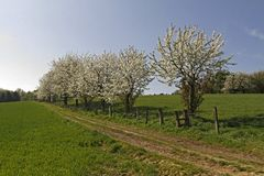 Footpath with cherry trees in Hagen, Germany Stock Image