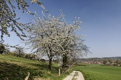 Footpath with cherry trees in Hagen, Lower Saxony, Germany Royalty Free Stock Images