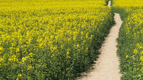 Footpath in cole-seed field Royalty Free Stock Photo