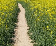 Footpath in cole-seed field Stock Photography