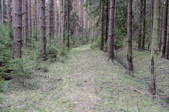 Footpath in coniferous spring forest Royalty Free Stock Photo