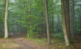 Footpath crossing misty autumnal forest Stock Photography