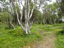 Footpath among dancing birches on the Big Solovki island Royalty Free Stock Images