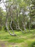Footpath among dancing birches on the Big Solovki island Stock Image