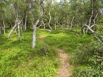 Footpath among  dancing birches on the Big Solovki island Royalty Free Stock Photo