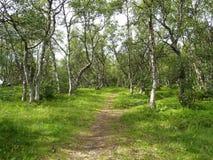 Footpath among dancing birches on the Big Solovki island Royalty Free Stock Photos