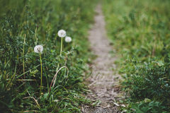 Footpath dandelion Royalty Free Stock Photo