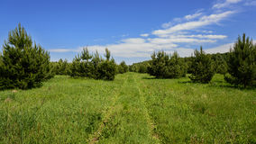 Footpath in a field overgrown with young pine trees. Royalty Free Stock Photography