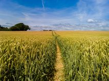 Footpath through a field. A footpath through a field of wheat on a summer day with a blue sky and light cloud Stock Photo