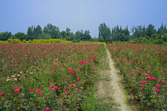 Footpath among flowering farmland in sunny summer Stock Photography
