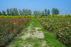 Footpath between flowering fields in sunny summer Royalty Free Stock Images