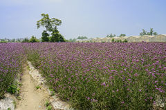 Footpath in flowering vervain fields in sunny summer Stock Images