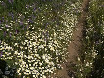 Footpath on the flowery meadow Royalty Free Stock Image