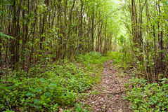 Footpath in forest Royalty Free Stock Images