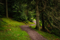 Footpath through forest. Downhill footpath through coniferous trees in Whinlatter Forest Park in the Lake District Stock Images
