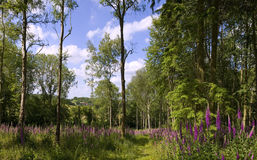 Footpath at the foxgloves woods Stock Photos