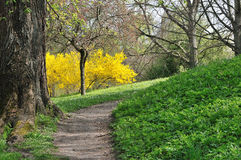 Footpath and genista in Spring Royalty Free Stock Image