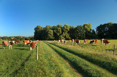 Footpath with grazing cows Stock Image