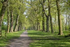 Footpath through Green Forest of Beech Trees in Spring.  Royalty Free Stock Photo
