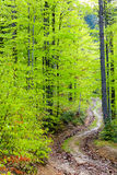 Footpath in green forest. Summer or spring . tall trees Royalty Free Stock Photography