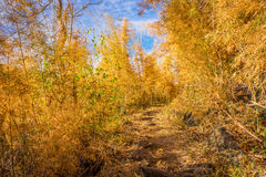 Footpath of hiking trail in bamboo forest in autumn Royalty Free Stock Photography