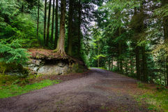 Footpath leading through trees. Past exposed roots over stone in Whinlatter Forest Park in the Lake District royalty free stock photo