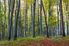 Footpath of leaves in autumn beech forest Stock Photography