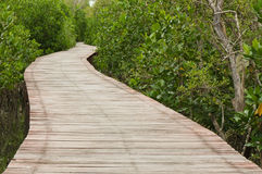 Footpath between mangrove. Forest at Petchaburi province Thailand Stock Images