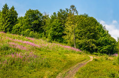 Footpath through the meadow with purple flowers. Footpath to forest through the meadow with purple flowers stock images