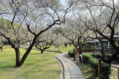 Footpath meandery przez łąki w parku kropkującym z kwitnąć śliwkowych drzewa pod pogodnym niebem Zdjęcia Royalty Free