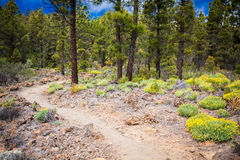 Footpath in the mountain forest in. `Paisaje Lunar` route, Tenerife, Spain Stock Image