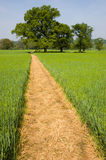 Footpath over a Wheat Field. Long yellow footpath leads across a field of spring wheat past trees to the horizon stock photos