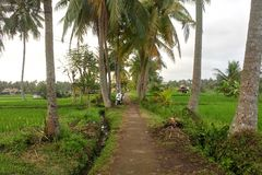 Footpath between palm trees leading through rice fields into the jungle. Motorbike green house rainforest dirt road background nature landscape natural outdoor stock photo