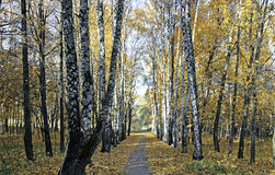 Footpath between the birches and maples in autumn Royalty Free Stock Photo
