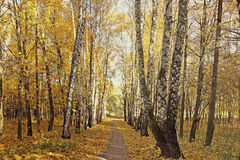 Footpath between the birches and maples in autumn Stock Image